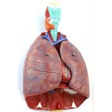 """Модель """"Легені людини"""""""