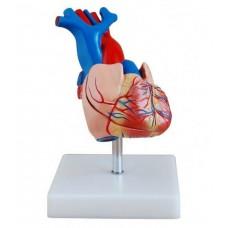 """Модель """"Серце людини"""""""