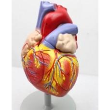 """Модель """"Серце людини"""" велике"""